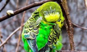 在忙着整理羽毛的鹦鹉摄影高清图片