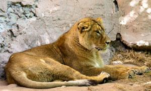 在躺着休息的狮子特写摄影高清图片