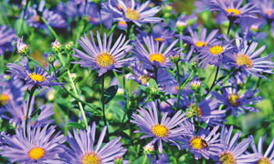 春天里盛开的紫色菊花摄影高清图片