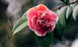 在树上的红色花朵特写摄影高清图片