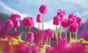 红色的郁金香花卉特写逆光摄影图片