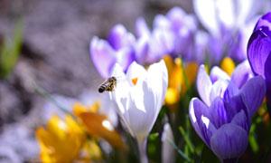 引来蜜蜂采蜜的藏红花摄影高清图片