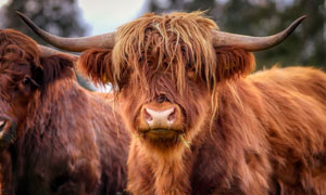 被毛发遮住双眼的牦牛摄影高清图片