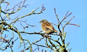 停在高枝上的麻雀特写摄影高清图片
