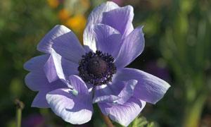 花期绽放的银莲花特写摄影高清图片