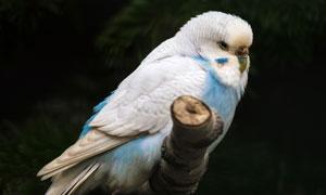 树枝上的一枚鹦鹉特写摄影高清图片