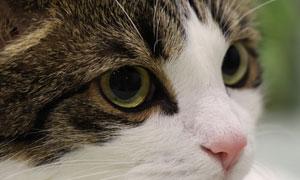 一只大眼睛的猫咪特写摄影高清图片