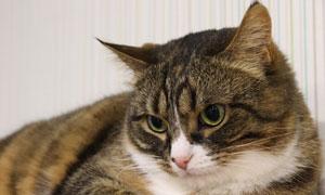 眼睛盯着看的肥猫特写摄影高清图片