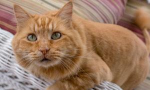 在沙发边玩耍的猫特写摄影高清图片