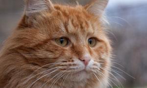 支棱着耳朵的猫咪特写摄影高清图片