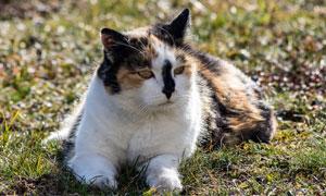 在草地趴着的猫咪特写摄影高清图片