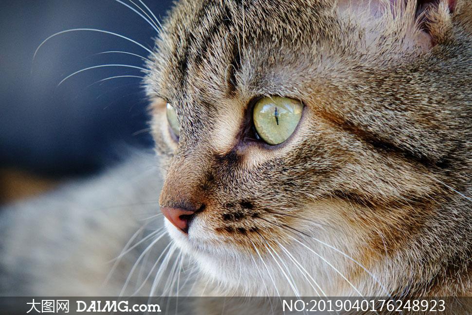 在聚精会神看什么的猫摄影高清图片