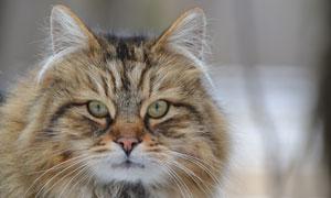脑袋圆滚滚的猫咪特写摄影高清图片