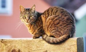 尾巴收起来的慵懒猫咪摄影高清图片