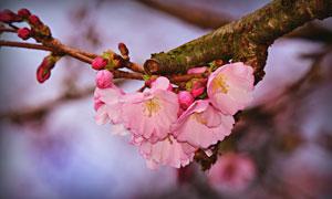 春天树枝上的粉色樱花特写高清图片