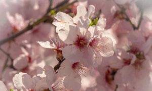 树枝上花团锦簇的樱花摄影高清图片