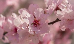 春天时节粉色樱花近景摄影高清图片