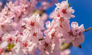 蓝天背景粉色樱花特写摄影高清图片