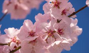 枝头上怒放的粉色花朵摄影高清图片