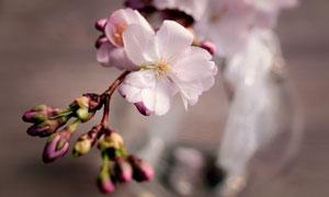 瓶子中的粉色樱花特写摄影高清图片