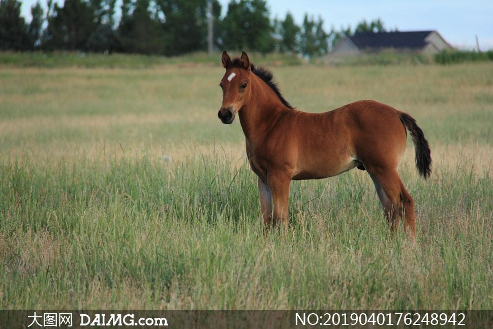 站在野外草场上的小马摄影高清图片