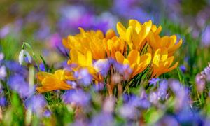 春天里绽放的黄色花卉植物高清图片