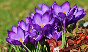 花期里绽放的紫色花卉摄影高清图片