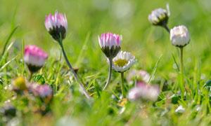 在慢慢绽放的菊花特写摄影高清图片