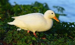 赶着去河里游泳的鸭子摄影高清图片