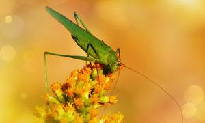 鲜花上的一只蝗虫特写摄影高清图片