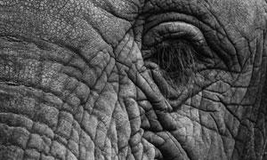 成年大象眼周皮肤微距摄影高清图片