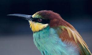 长着长长喙的小鸟特写摄影高清图片