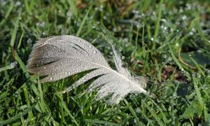 沾上露水的羽毛与草丛摄影高清图片