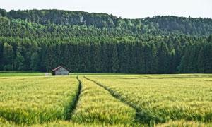 农田小屋与密不透风的森林高清图片