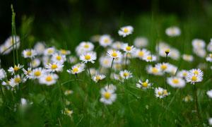 野外开着花的雏菊鲜花摄影高清图片