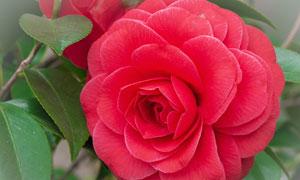 绽放中的红色鲜花特写摄影高清图片