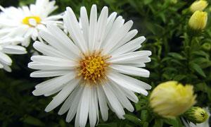 在花期绽放的白色鲜花摄影高清图片