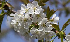 树枝上洁白如雪的樱花摄影高清图片
