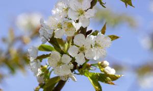 春天里树枝开着的白色樱花高清图片