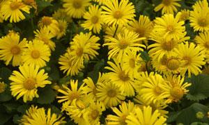 纷纷绽放的黄色菊特写摄影高清图片