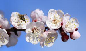 蓝天背景樱花近景特写摄影高清图片