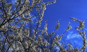 蓝天下盛开的樱花风景摄影高清图片