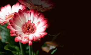 红白色的菊花近景特写摄影高清图片
