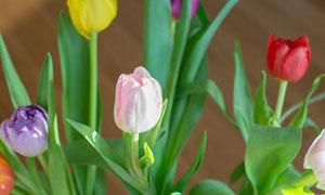 五款颜色的郁金香花朵摄影高清图片