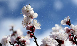 风雪环境枝头上的樱花摄影高清图片