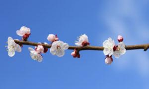 到开花季节的樱花特写摄影高清图片