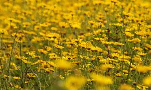 在野外生长的菊花风景摄影高清图片