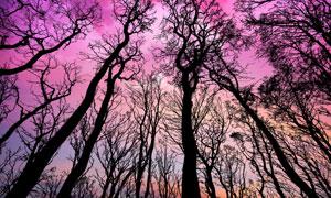 树木剪影与瑰丽的云彩摄影高清图片