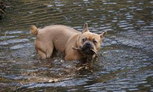 水中叼着树枝的狗特写摄影高清图片
