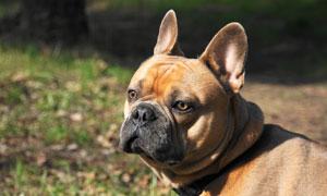 耳朵竖起来的狗狗特写摄影高清图片